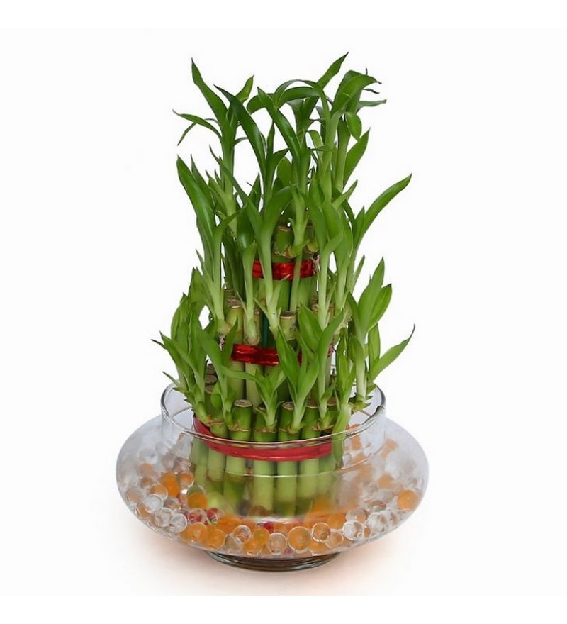 Lucky Bamboo Plant with Glass Pot by Exotic Green