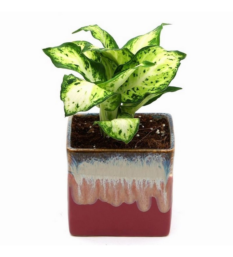 Dieffenbachia Amy Indoor Plant with English Purple Ceramic Pot by Exotic Green