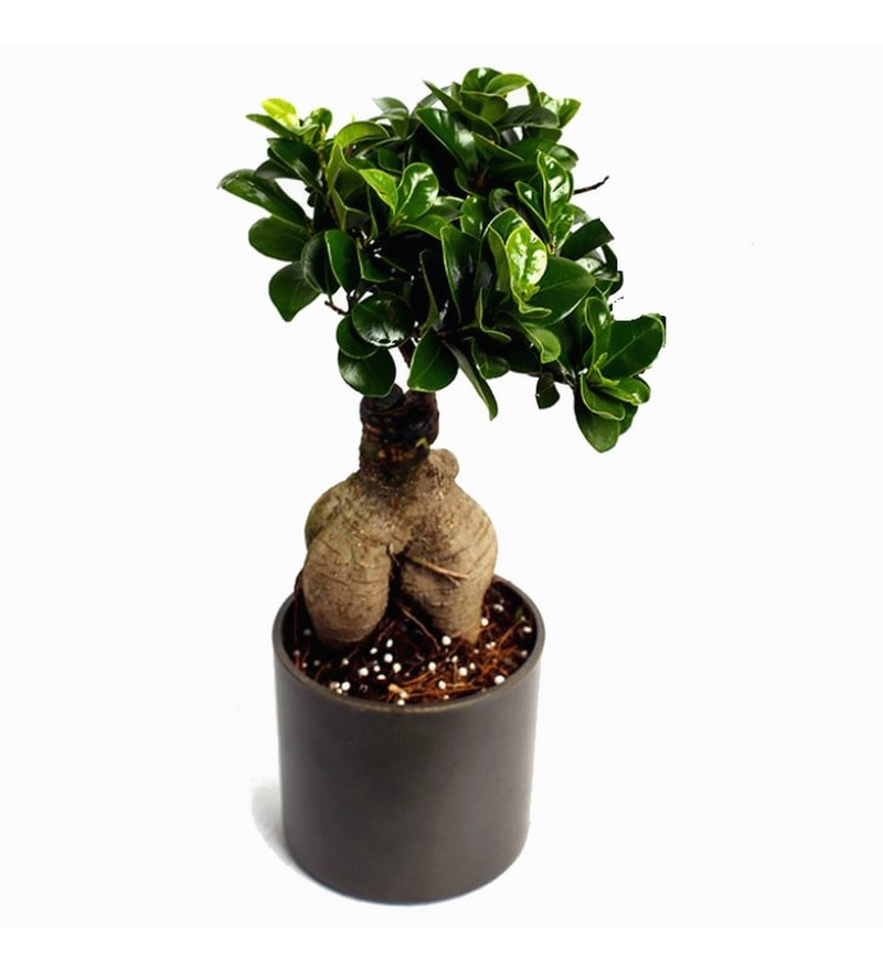 Ficus Bonsai Plant with Black Fibre Pot by Exotic Green