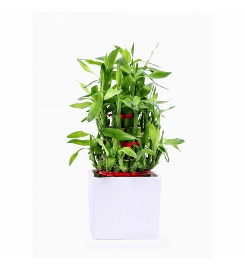 Buy Exotic Green Lucky Bamboo 3-Layer Indoor Plant In Clear