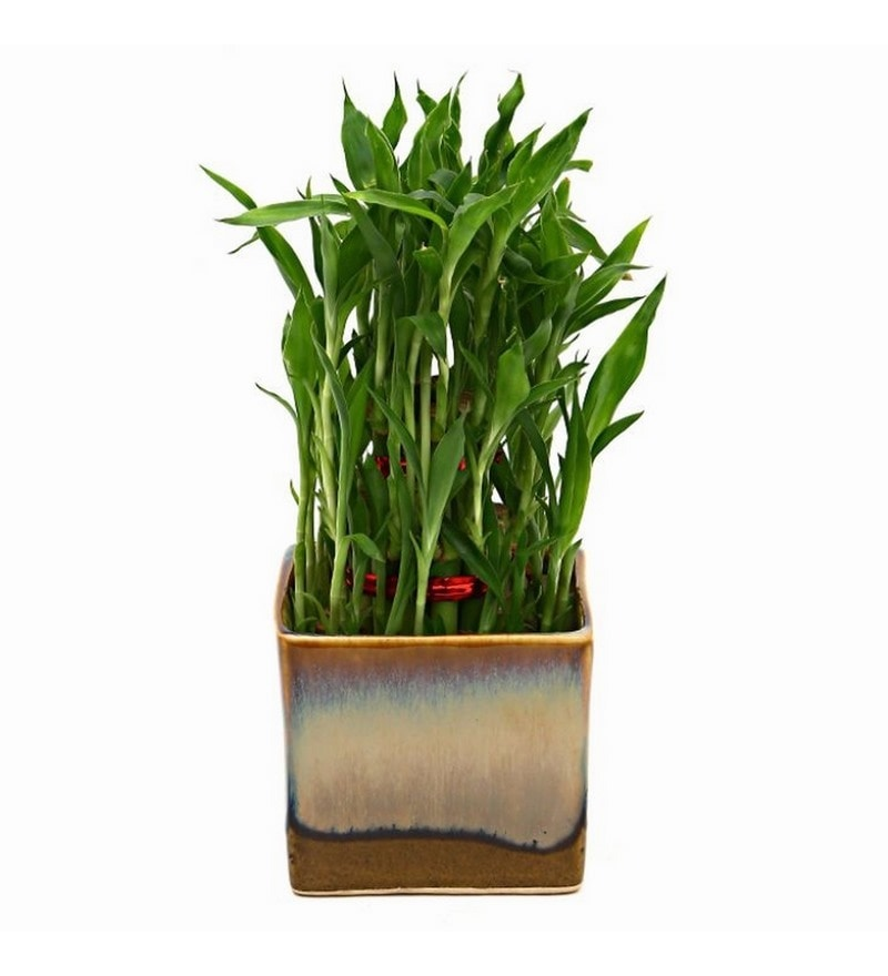 Bamboo Plant with Choco Brown Ceramic Pot by Exotic Green