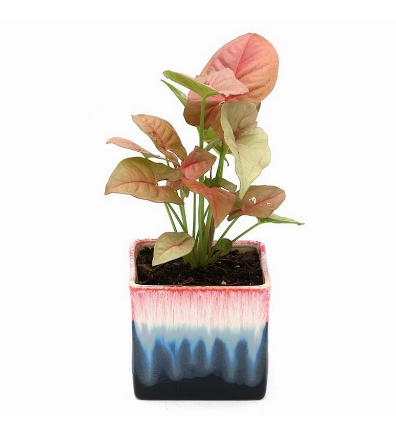 Syngonium Pink Indoor Plant in Rainbow Black Ceramic Pot by Exotic Green