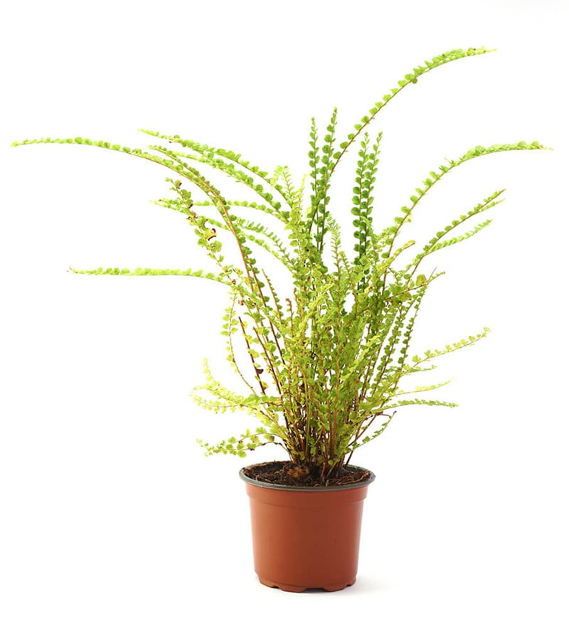Fern Button Natural Foliage Plant by Ugaoo