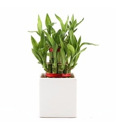 Indoor Bamboo Tree.Royaltyfree Stock Photo Download Lucky Bamboo ...