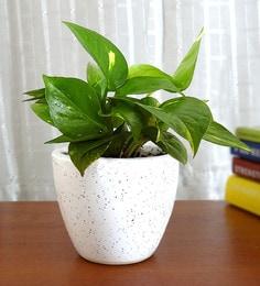 Natural Money Plant In White Round Dew Pot