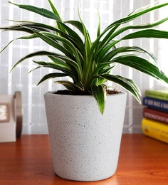 Natural Air Purifying Plant Spider In White Dew Bucket Pot