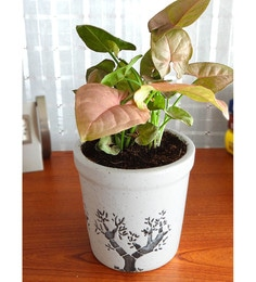 Indoor Plants Online: Buy Natural Indoor Plants at Best Prices ... on indoor orange tree leaf, boston fern care indoor plant light, 3 tier plant stand grow light, indoor plants grow without soil, indoor house plants trees, dracaena house plant low light, indoor plants that can grow in water, indoor houseplants fern, indoor green plants with heart shaped leaves, indoor green plant name,
