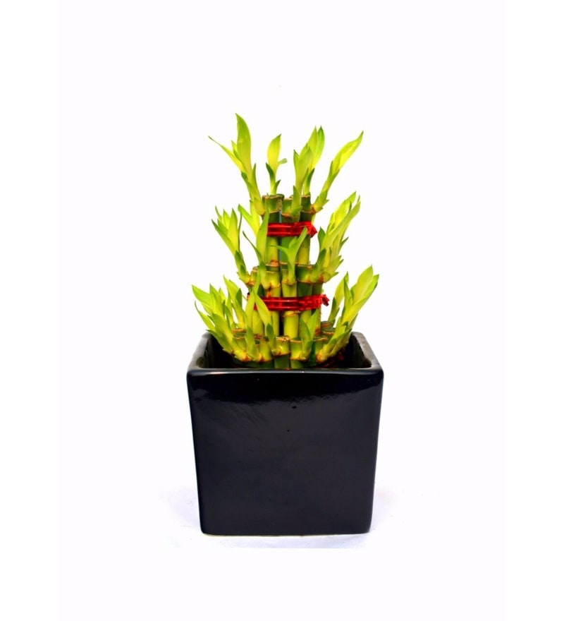 Natural Ceramic Fearlessly Lucky Bamboo Plant by Nurturing Green