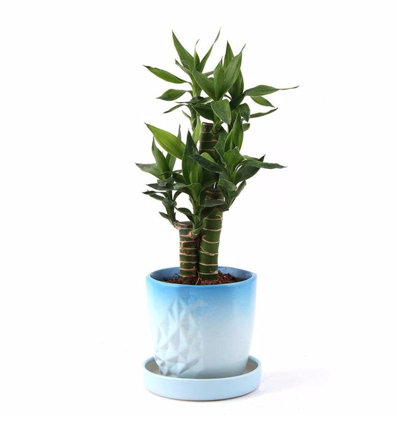 Natural Ceramic Mesmerizing Cutleaf Bamboo Plant by Nurturing Green