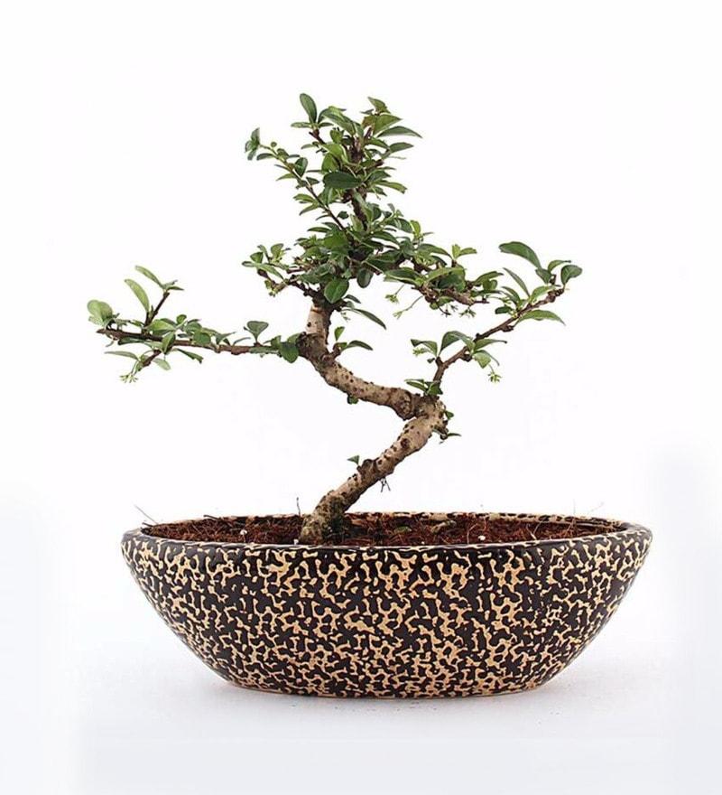 Natural Ceramic Rain Drop Carmona Bonsai Plant by Nurturing Green