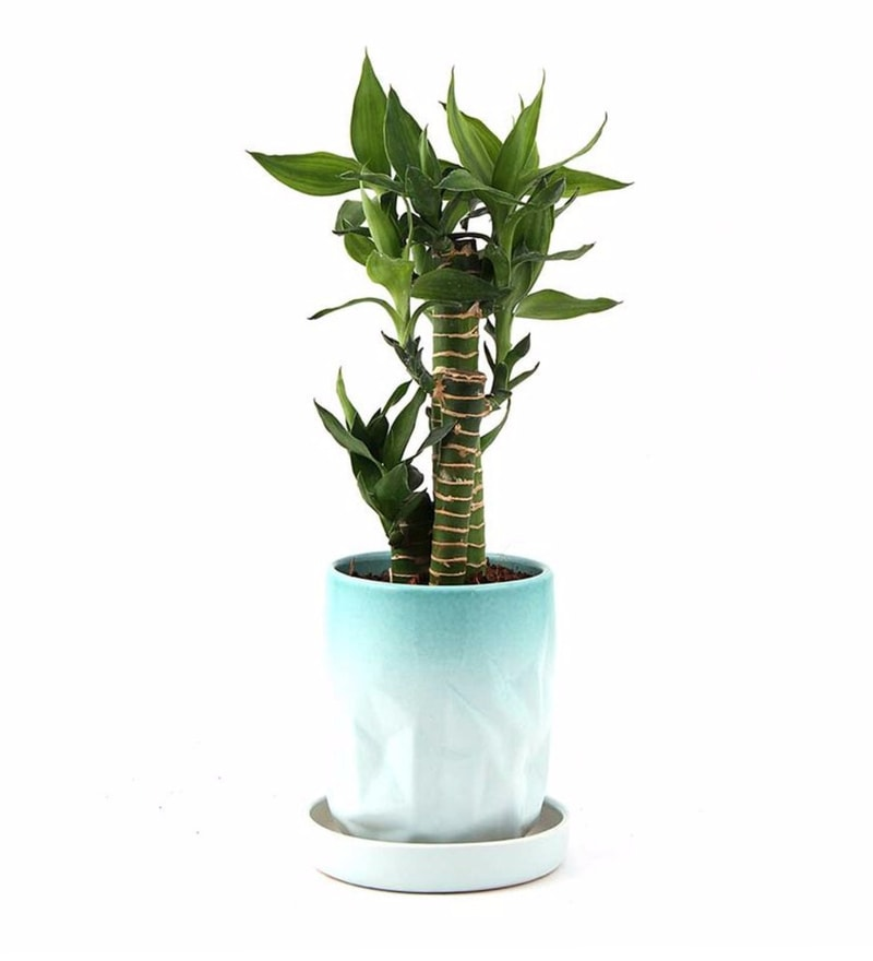 Natural Ceramic Supple Green Cutleaf Bamboo Plant by Nurturing Green