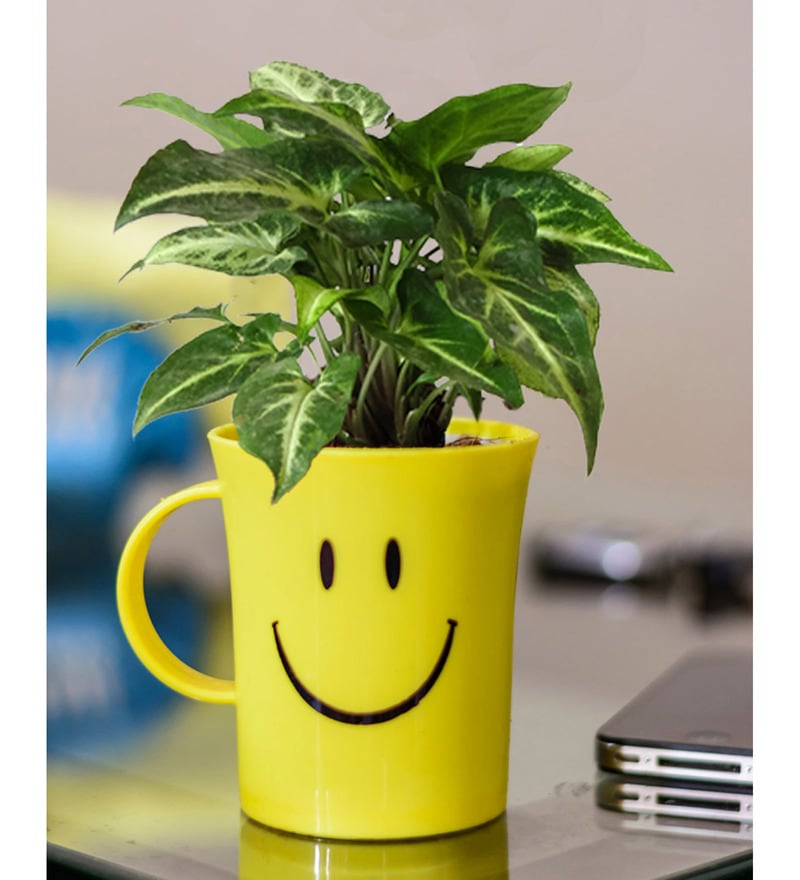 Natural Plant Syngonium in Smiley Cup by Rolling Nature