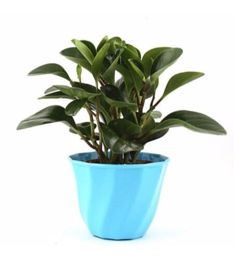Natural Plastic Aqua Lite Peperomia Plant by Nurturing Green