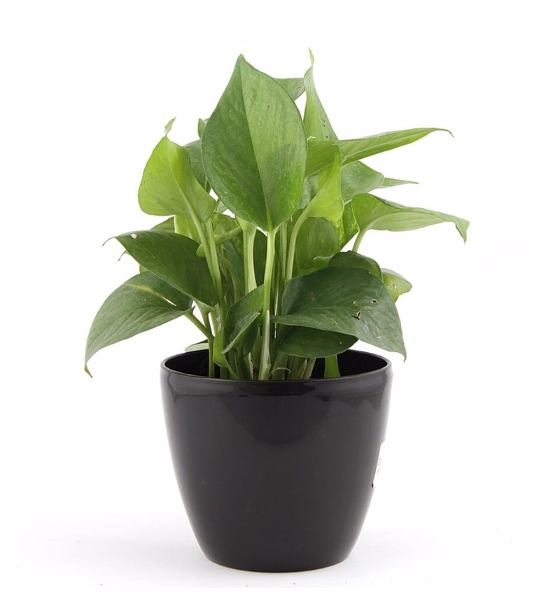 Natural Plastic Mysterious Lite Money Plant by Nurturing Green