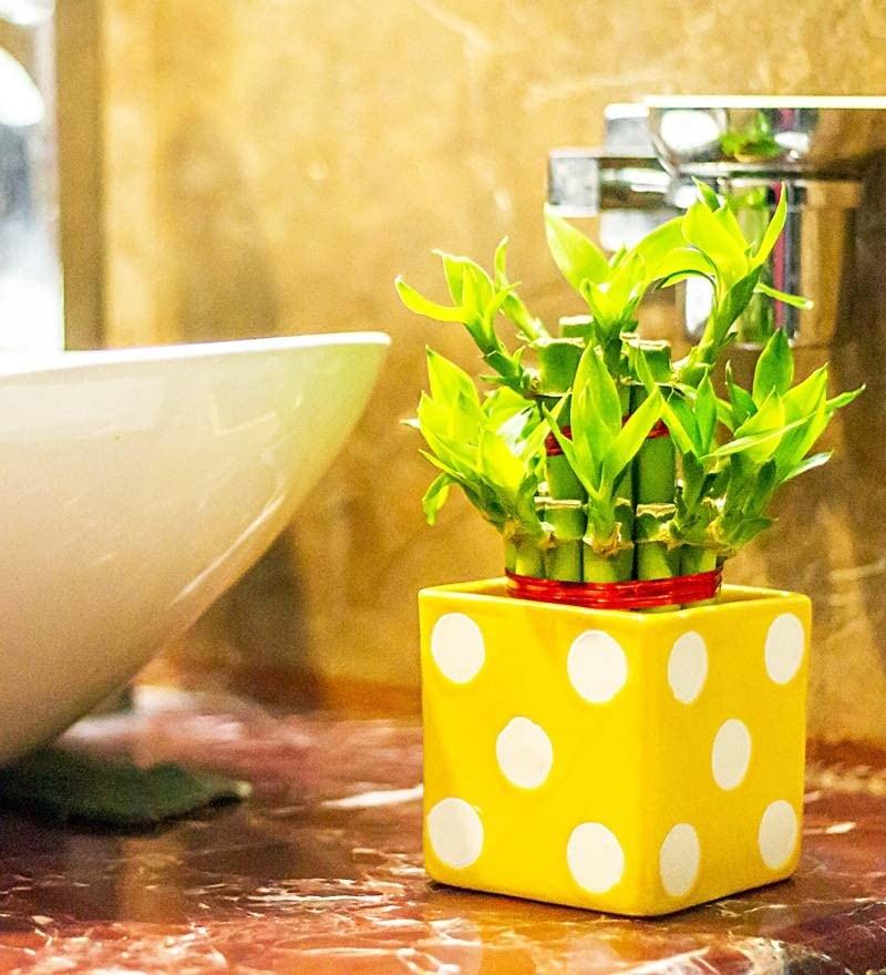 Nurturing Green 2 Layer Big Lucky Bamboo Plant In Yellow Polka Ceramic Pot