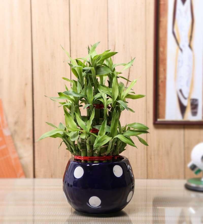 Nurturing Green Lucky Bamboo 3 Layer Plant & Round Navy Blue Ceramic Pot
