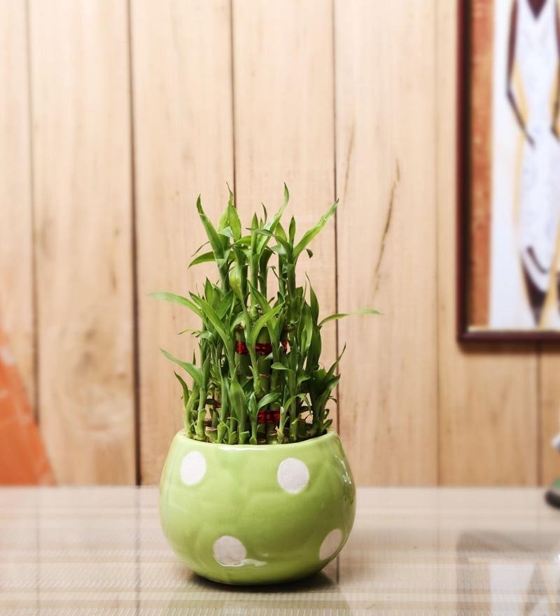 Nurturing Green Lucky Bamboo 3 Layer Plant & Green Ceramic Pot