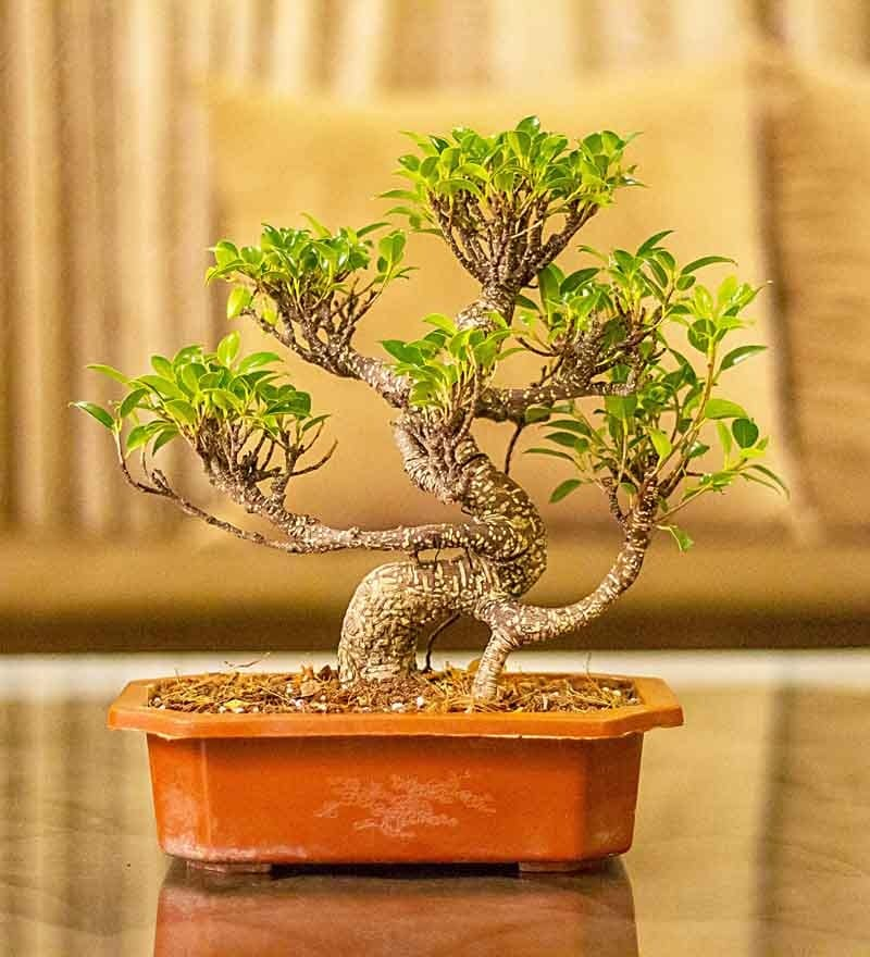 Nurturing Green S Shape Ficus Bonsai Plant In Brown Tray Pot