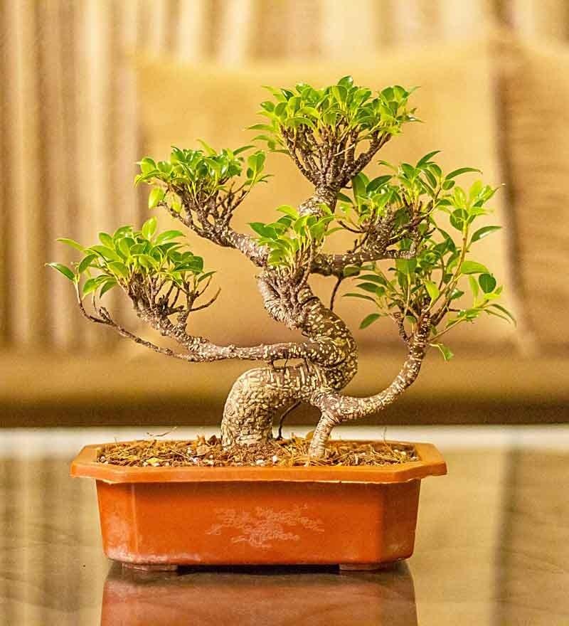 Nurturing Green S Shape Ficus Bonsai Plant In Brown Tray Pot