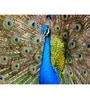 Hashtag Decor Engineered Wood 27 x 20 Inch Peacock Framed Art Panel