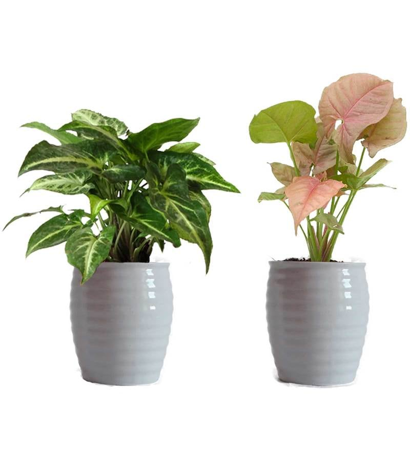 Combo of Good Luck Pink and Green Syngonium in White Ceramic Pot by Rolling Nature
