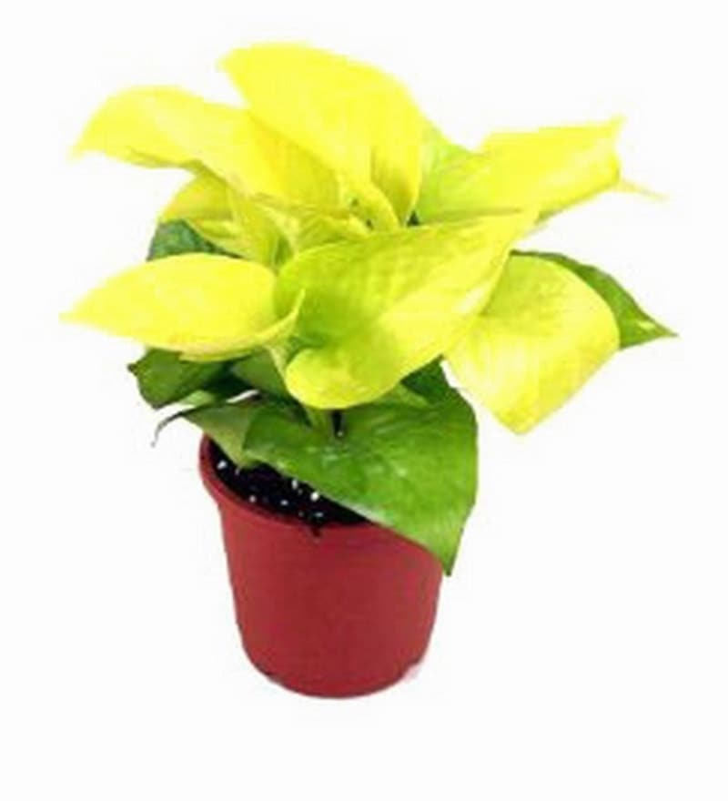 Pothos Gold Plant with Pot by Rolling Nature