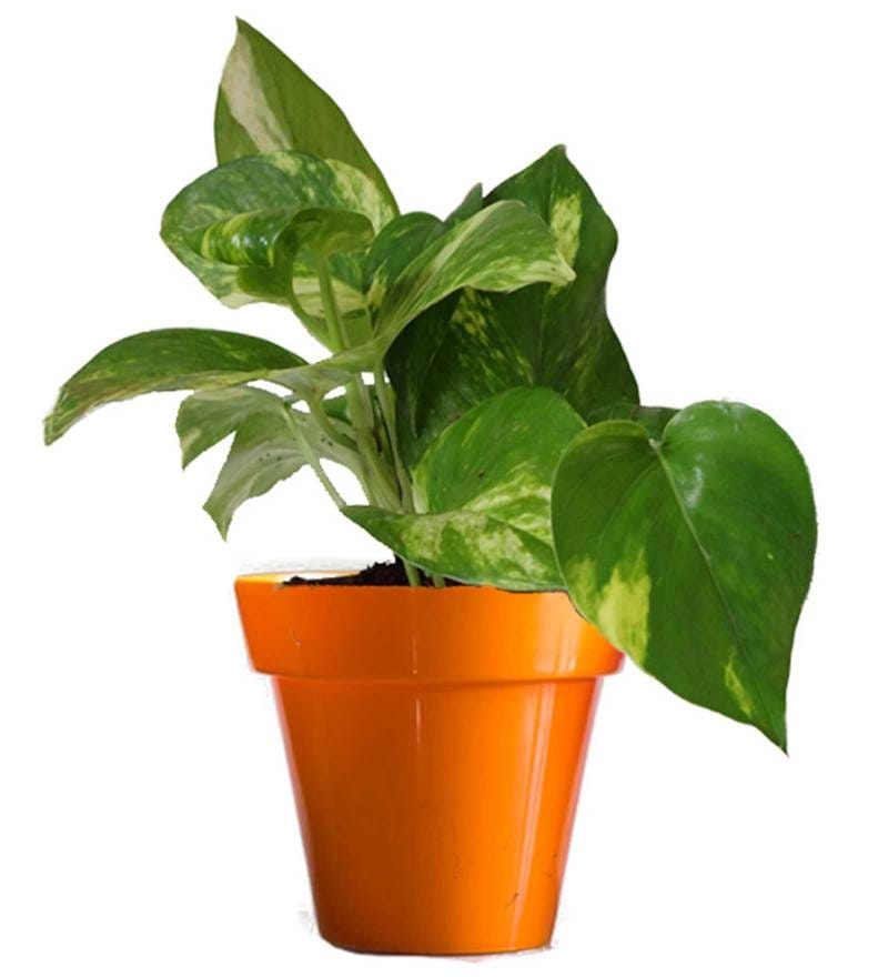 Good Luck Money Plant in Small Orange Colorista Pot by Rolling Nature