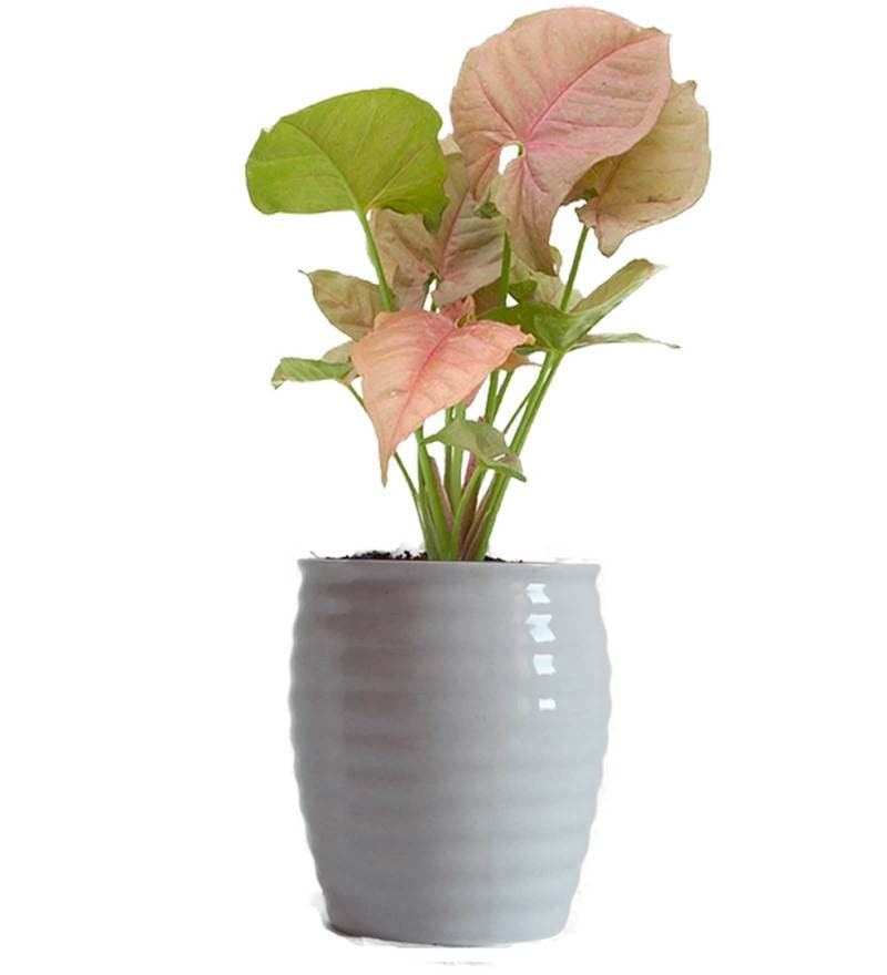 Good Luck Pink Syngonium Plant in White Ceramic Pot by Rolling Nature