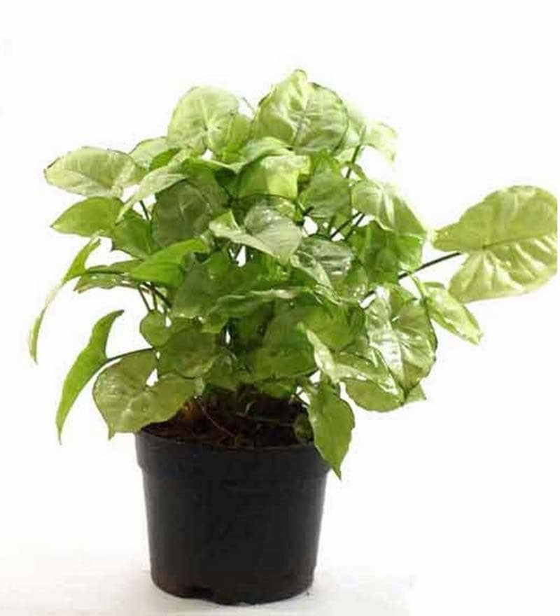 Syngonium White Plant by Rolling Nature