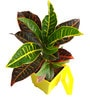 Croton Petra in Yellow Square Pot by Rolling Nature