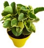 Variegated Peperomia in Yellow Colorista Pot by Rolling Nature